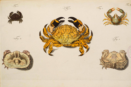 Natural Histories crabs