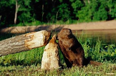 Beaver-3