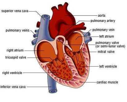 Humanheartdiagram