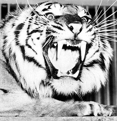 1013.feature.tiger1