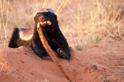 Honey-badger-with-snake