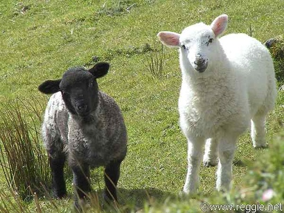 4737304_black_and_white_sheep-600