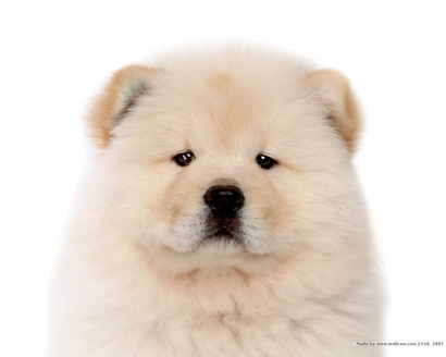 Chow-chow-puppy-wallpaper-puppies-13936784-1280-1024