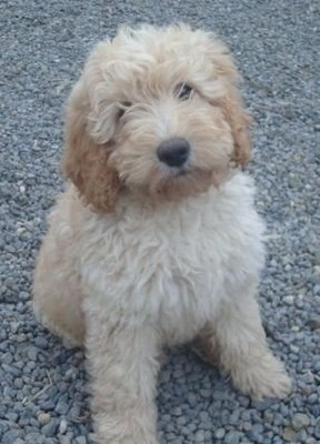 Labradoodle-rescue-group