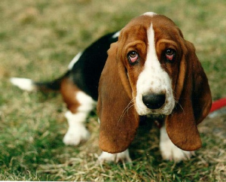 Sad_basset_hound-12660_medium