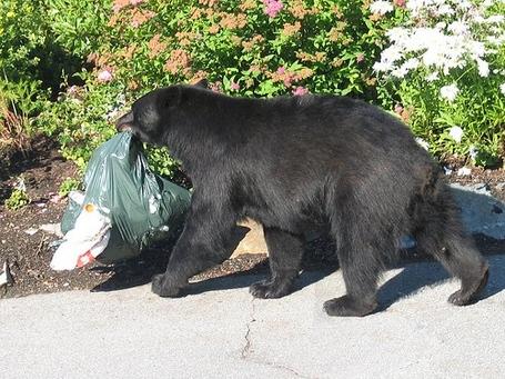 Bear_trash_medium