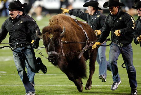 130812165627-colorado-buffaloes-mascot-ralphie-single-image-cut_medium