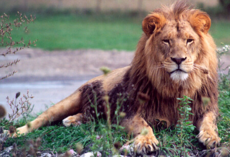 Cameroon_lion_medium