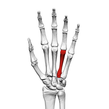 Fourth_metacarpal_bone__left_hand__01_palmar_view_medium