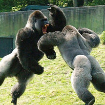 Gorillas-fight