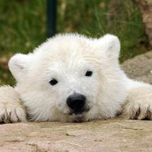 Bear-8