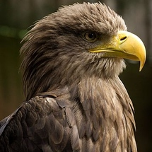 360px-white-tailed_eagle_head_detail
