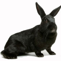 Black_rabbit