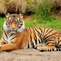 Elegant-tiger-tigers-35204002-2560-1920