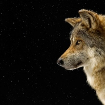 Wolf_black_wolf_pictures_hd_wallpaper_wolf_black_