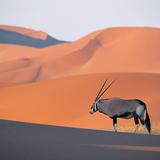 Oryx_antelope