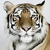 Bengal-tigers-kanja-3
