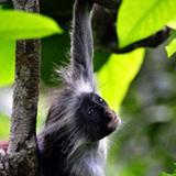 Poisin_monkey