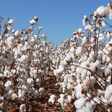 Cotton_1_