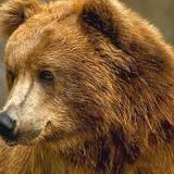 Bear_closeup