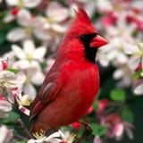 Northern_cardinal-1600x1200