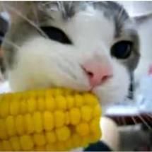 Cat_and_corn