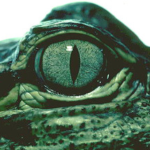 See_you_later_gator