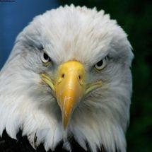 Bald_eagle-1024x768
