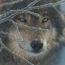 Wolf_5