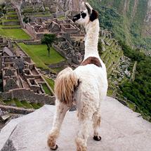 Llama__peru__machu_picchu