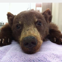 Orphaned_bear