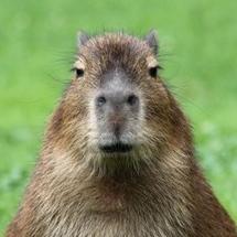 5436652-portret-van-een-jong-capibara