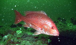 eos-red-snapper-fish-585-mfk011211.jpg