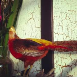 pheasantdap.jpg