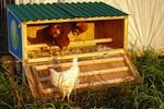 chicken-coop-150.jpg