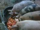 littlepiggies.jpg