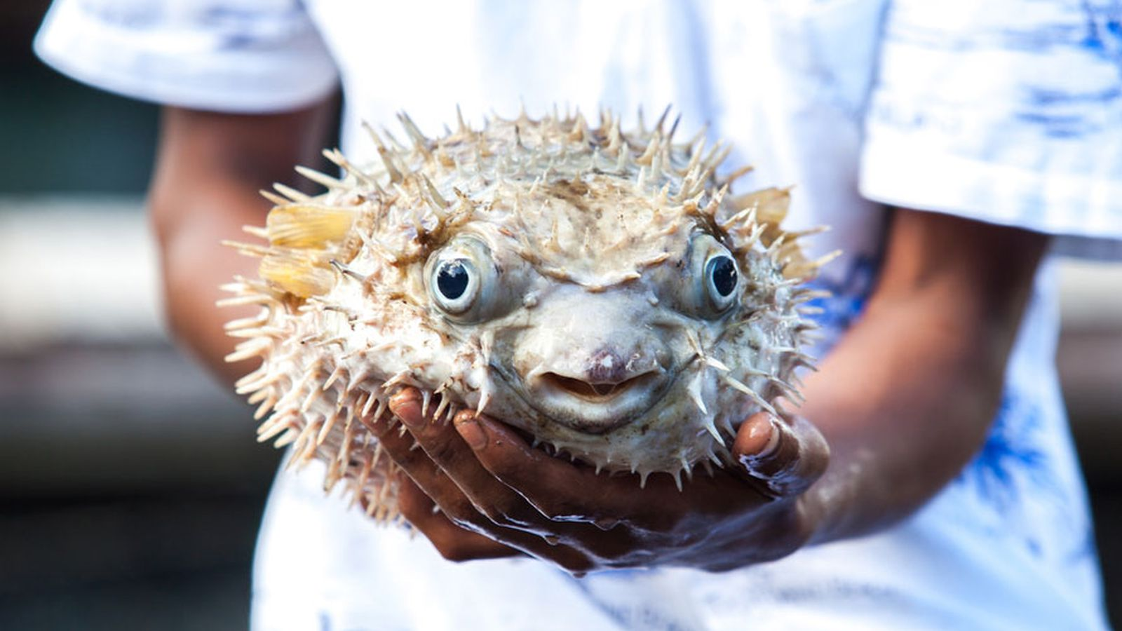 Five men hospitalized after eating poisonous fugu eater for Poisonous fish to eat