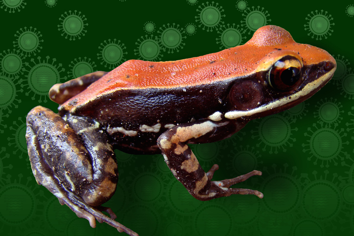 South Indian frog Hydrophylax bahuvistara.        Image by Sanil George and Jessica Shartouny