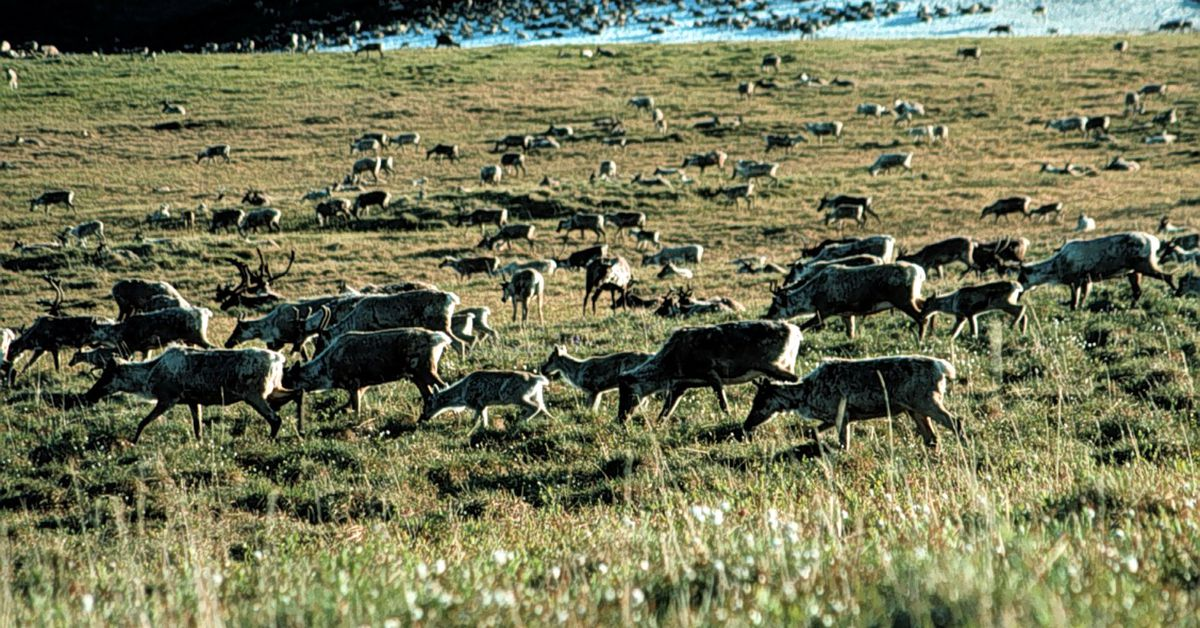drilling arctic national wildlife refuge essay Free essay: drilling oil in alaska's arctic national wildlife refuge (anwr) is a  serious issue for environmentalists and for the future of the united states.