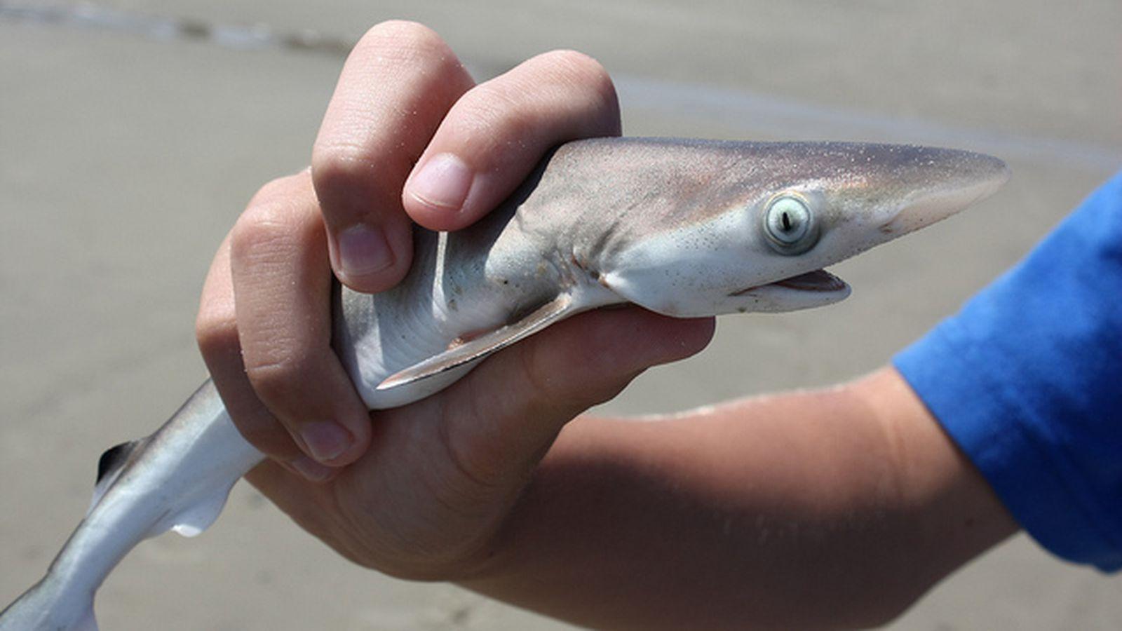 How Shark Week screws scientists - The Verge