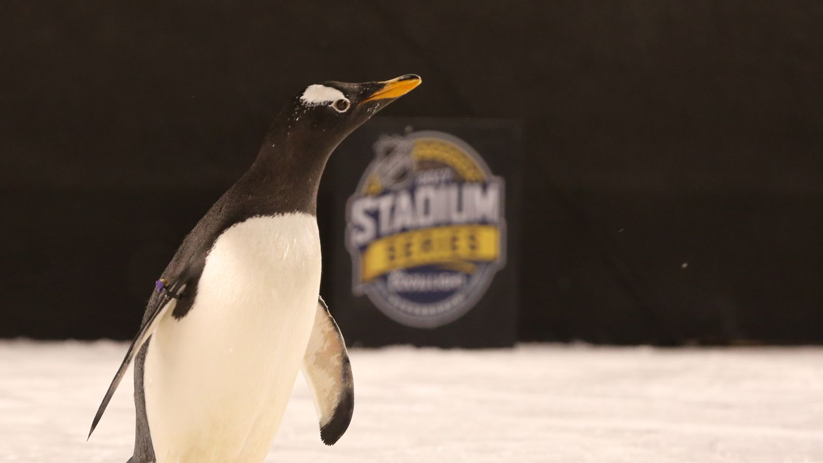 Peta Criticizes Nhl For Using Live Penguins To Promote