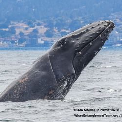 This whale has a cord caught around its head.
