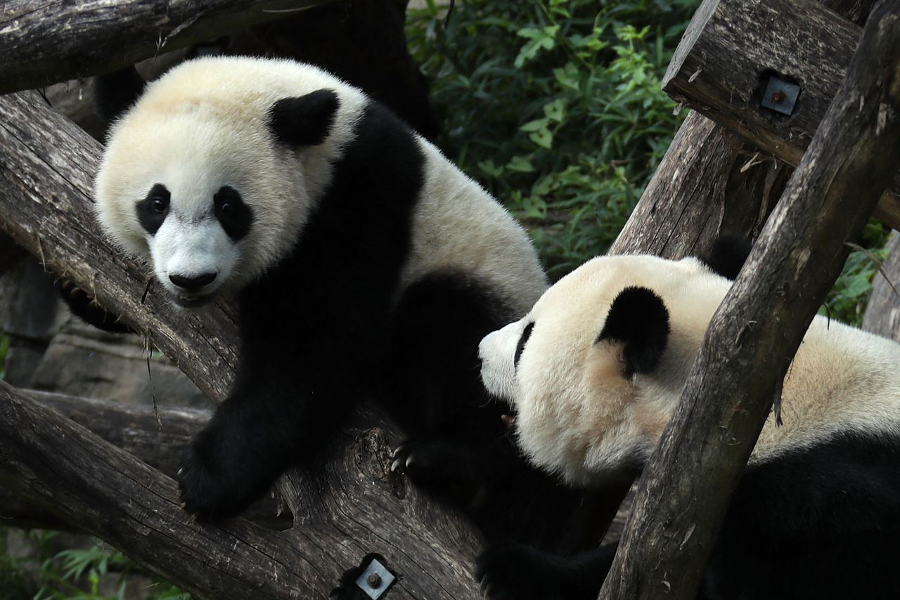 the pandas thumb Of pandas and people is a book for creationist cdesign  book, the panda's  thumb, a work which explains evolutionary theory in common,.