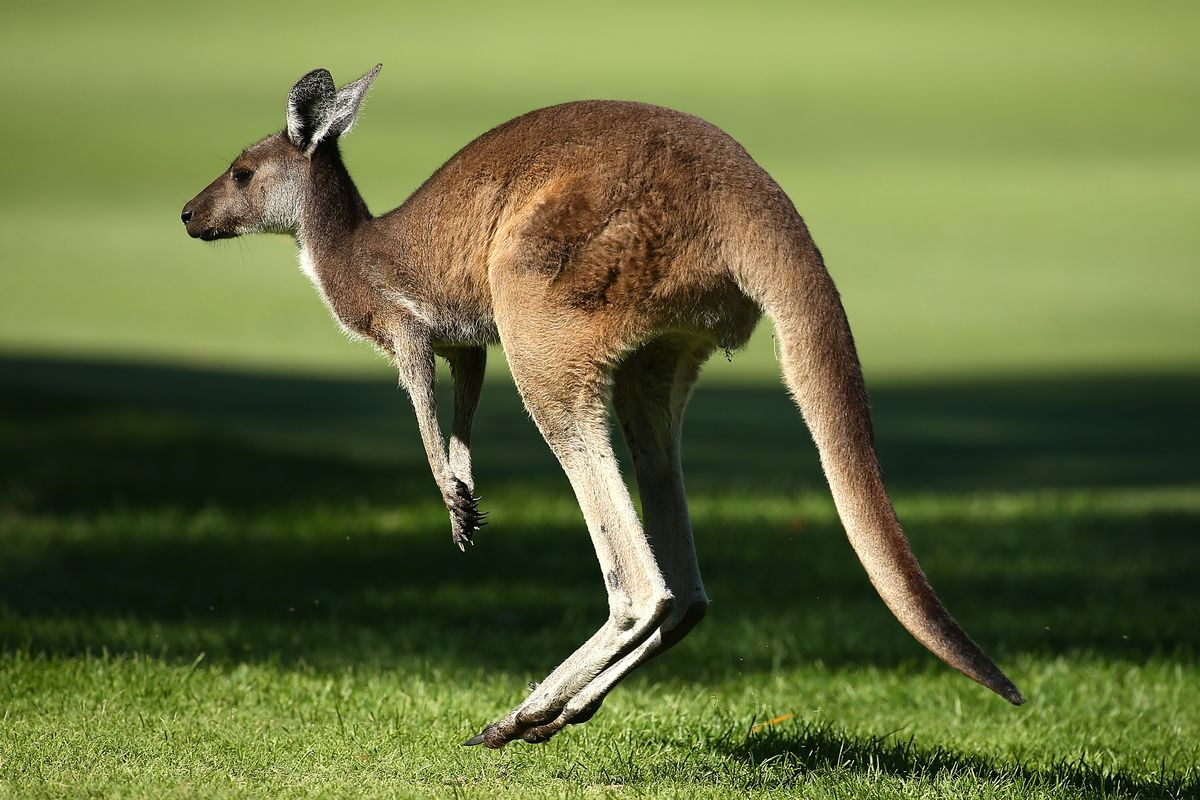 It's time you learned the truth about kangaroos - The Verge