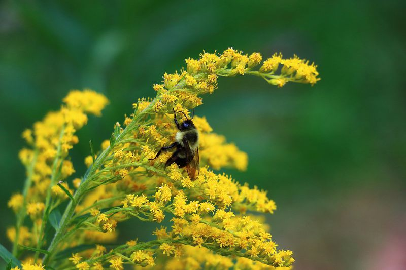 "Bumblebee on goldenrod in Montgomery County, Maryland, USA. (<a href=""https://www.flickr.com/photos/124300190@N04/14605658261/in/photolist-8F8dHi-iAnfYb-8Ws8PR-psHLDj-eosZFp-pxTdLA-ofDPma-53knwR-5gZ6xE-aFCdUM-aSHhN6-a6kWkQ-mcchPM-gBbvna-6H3C1Z-8Fbpb5-8oNGkv-8Fbnqd-pyKCHD-iFnV1k-ngp3BR-HjXCM-5xCkif-5pdBUa-ipDf23-iVKzVj-ipDvu8-7QnCxp-gjBGDH-gjBNua-6gKzY1-oviUjT-oRu3Hv-ipDnfy-ipCq7W-ipCPQP-ipDVQv-ipCNt9-ipDb45-ipCshu-ipErZt-ipEA6Z-ipEm5H-ipD36k-ipE42e-ipEsDK-ipDt95-ipEvyc-ipCRYN-ipDDno"">Alice Crain/Flickr</a>)"