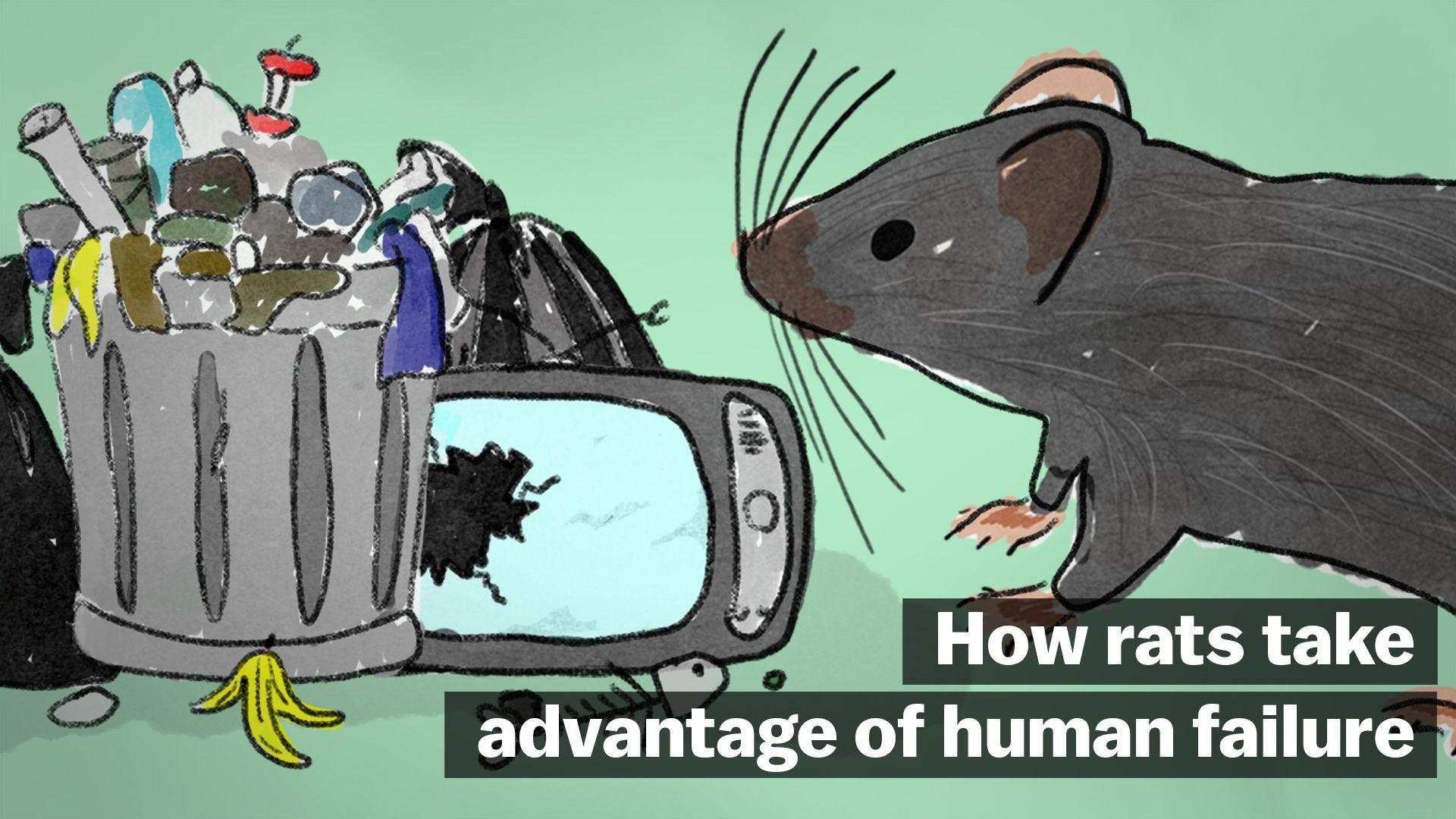How Rats Take Advantage Of Human Failure