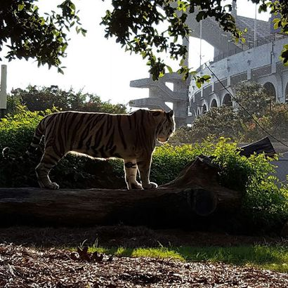 LSU's tiger mascot dies after cancer treatment