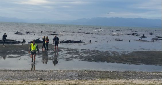 Pilot whales stranded on Farewell Spit, New Zealand. February 10, 2017. Photo: Deb Price/New Zealand Department of Conservation Media Release