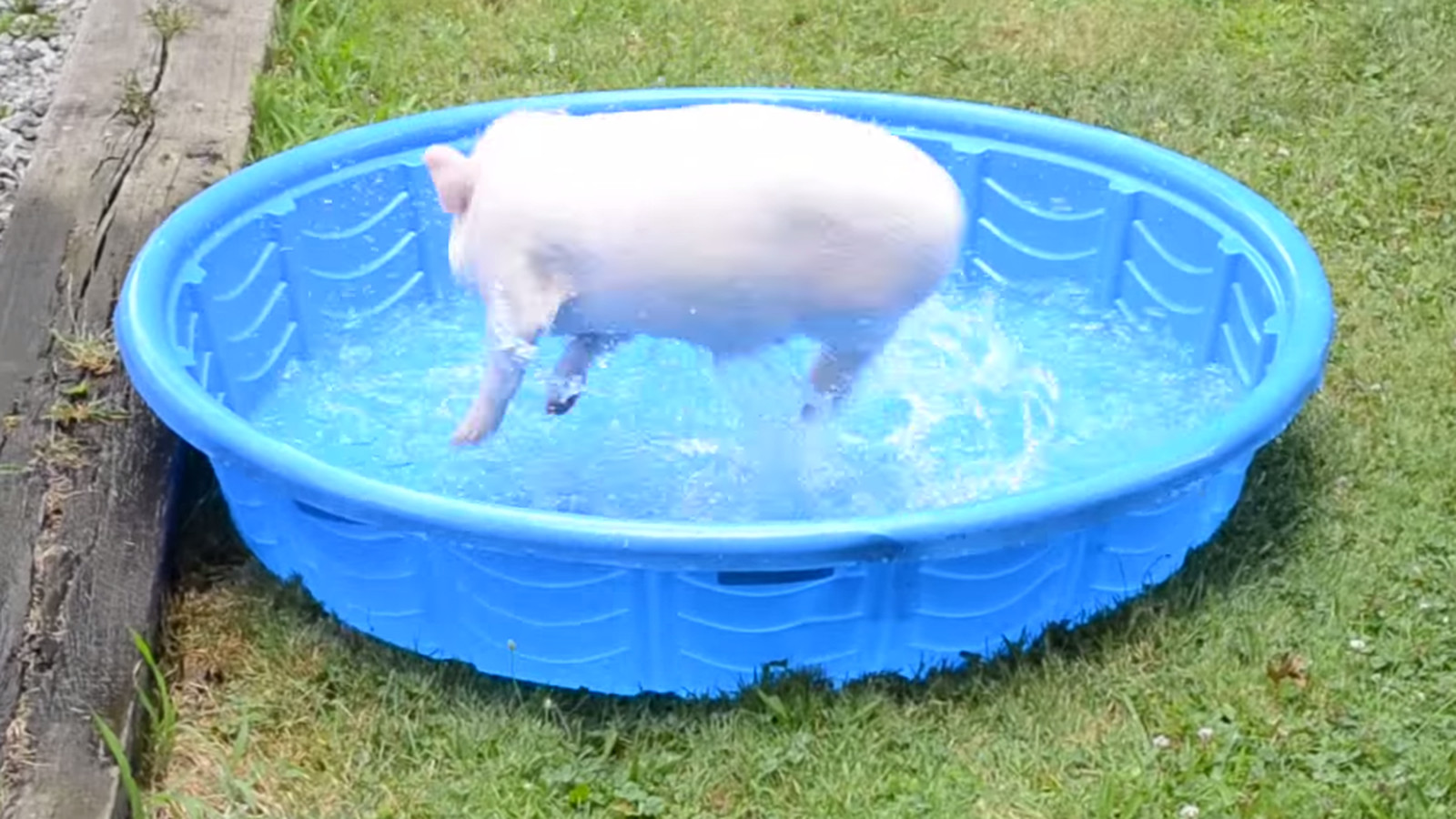 Little Pig In A Swimming Pool Little Pig In A Swimming