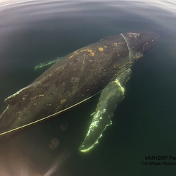 Whales entangled in rope like this one are more common, Folkens said. The one making headlines with its head caught in a metal frame is unusual.